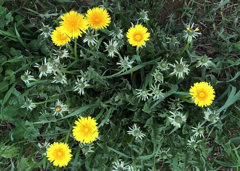 Dandelion spray. Dandelion Flower Yellow Freshness Blooming High Angle View Green Color Outdoors Plant Horizontal