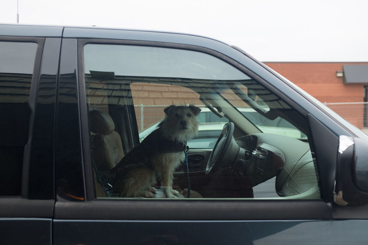 Dog sitting in car seen through glass window