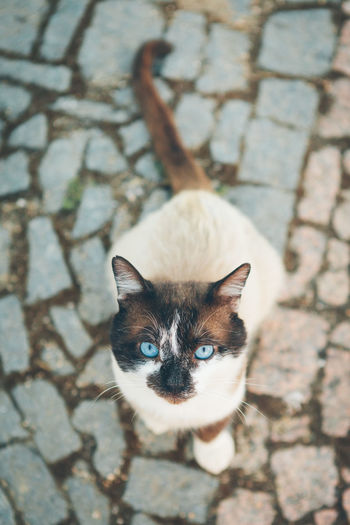 High angle portrait of siamese cat on footpath