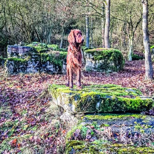 Autumn Colors Brown Dog Green Color Irish Setter Irishsetter Pets