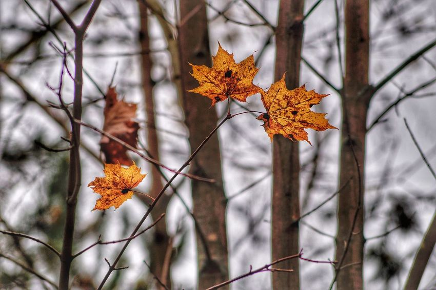 Autumn Change Leaf Nature Orange Color Selective Focus Outdoors Beauty In Nature Autumn Collection Maple Leaf Focus On Foreground No People Day Plant Branch Tree Yellow Close-up Maple Fragility