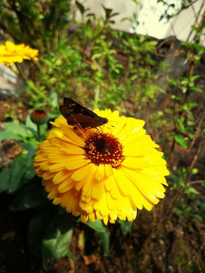 Yellow Flower Butterfly - Insect Flower Head Close-up Freshness Growth Flowering Plant Yellow Petals Sunny Day 🌞 Beauty In Nature Day Focus On Flower Bud Garden Photography