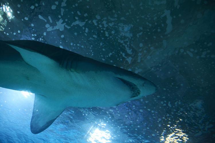Great lone shark in the ocean great teeth, blue, rocks