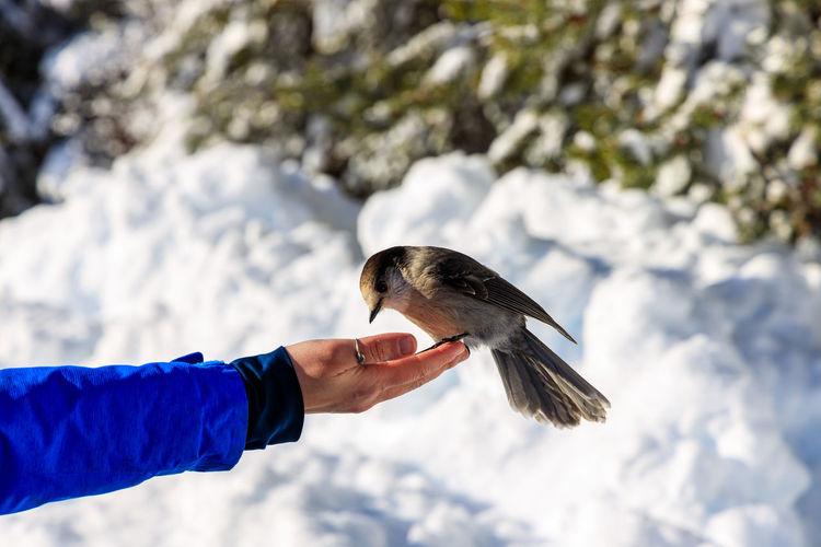 Grey jay perisoreus canadensis feeding from hand