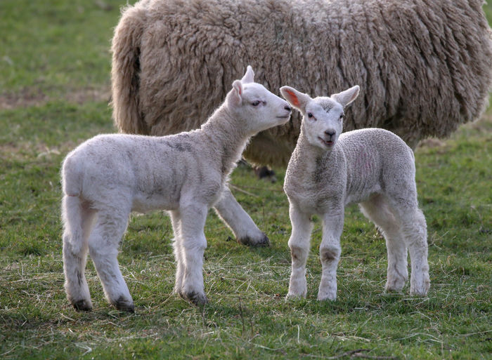 Mammal Group Of Animals Livestock Animal Themes Animal Sheep Domestic Animals Grass Domestic Two Animals Young Animal Lamb Pets Land Field Plant Standing Nature Vertebrate Animal Family No People Outdoors Herbivorous
