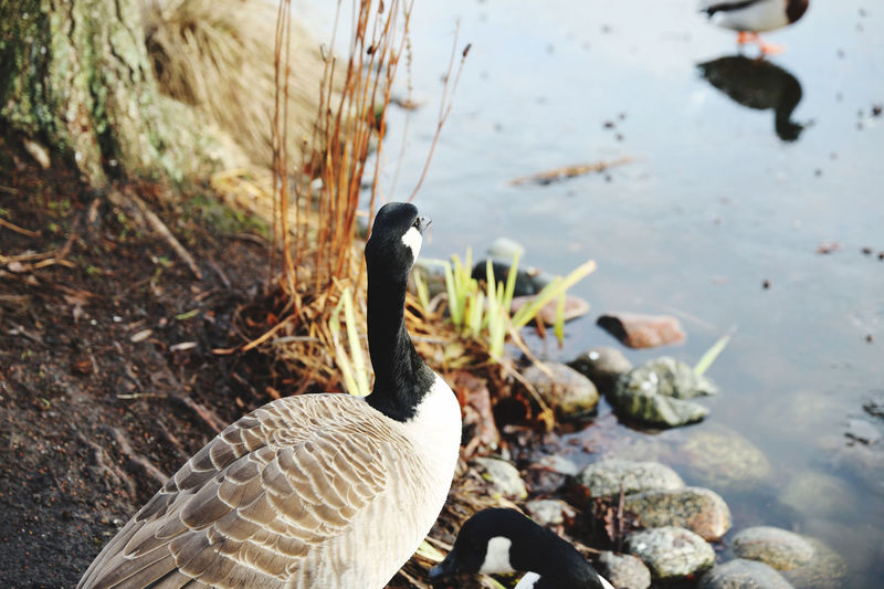 High angle view of a vanada goose in lake