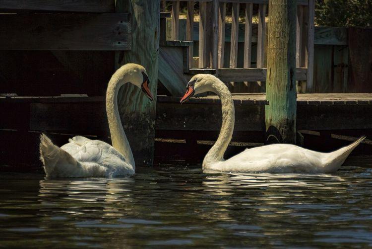 Mute Swans Swimming On Lake