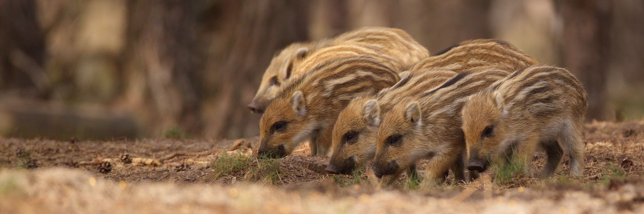 Wild boar piglets in forest