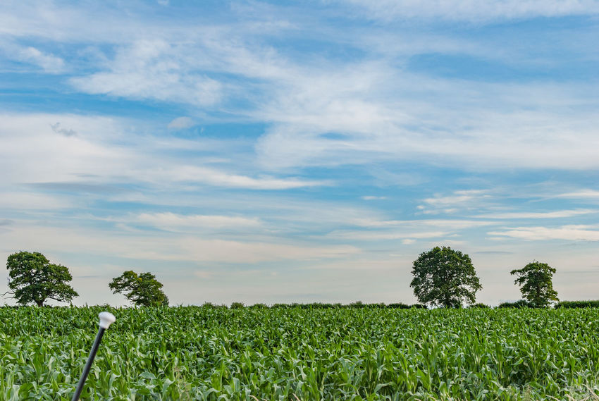 English corn field Agriculture Beauty In Nature Cloud - Sky Corn Day Field Freshness Green Color Growth Landscape Nature No People Outdoors Plant Rural Scene Scenics Sky Tranquil Scene Tranquility Tree