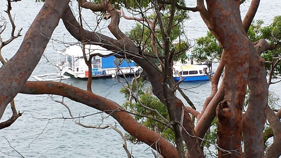 Angophora Boats Branches Day Houseboat Outdoors Overcast Sydney Harbour  Sydney Red Gums Tree Trunk Tree Trunks Trees