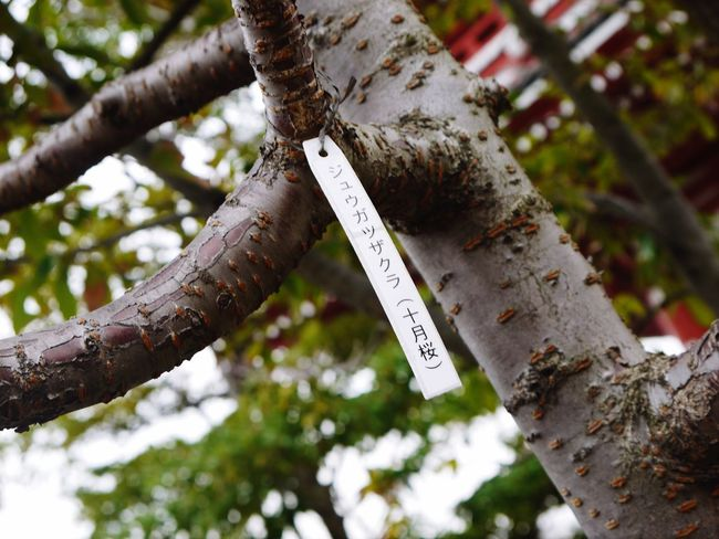 日本 桜の木 EyeEm Tree Plant Low Angle View Focus On Foreground Tree Trunk Branch Day Nature No People Text Trunk Communication Outdoors Sign Close-up Hanging Growth Metal Pattern Script EyeEmNewHere