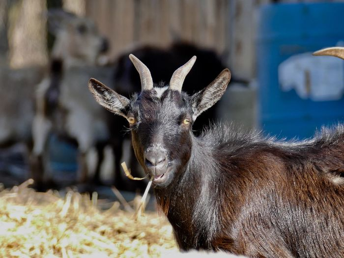 Goat EyeEm