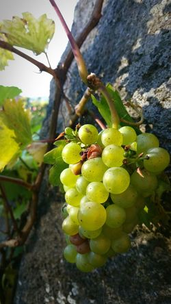 Grapes On The Vine Fall Beauty Fruit Food And Drink Healthy Eating Food Grape Close-up Vine Outdoors Vineyard Agriculture