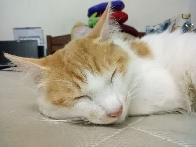 Hai handsome.. Rest and sleep forever.. RIP Domestic Cat Pets One Animal Indoors  Domestic Animals Feline Animal Themes Mammal Home Interior Sitting No People Portrait Close-up Day