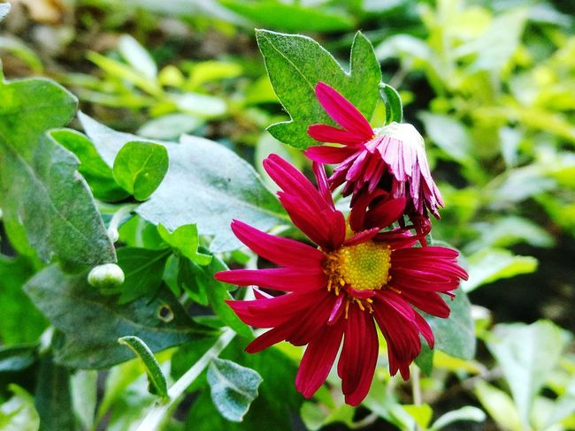 The year is ending and new lives begin to live..... Group Of Flowers Nature's Love Red Flowers🌸 Greenery Yellow Flower Fragility Growth Petal Nature Plant Beauty In Nature Flower Head Freshness Focus On Foreground Day Outdoors Blooming No People Close-up Green Color Red Leaf