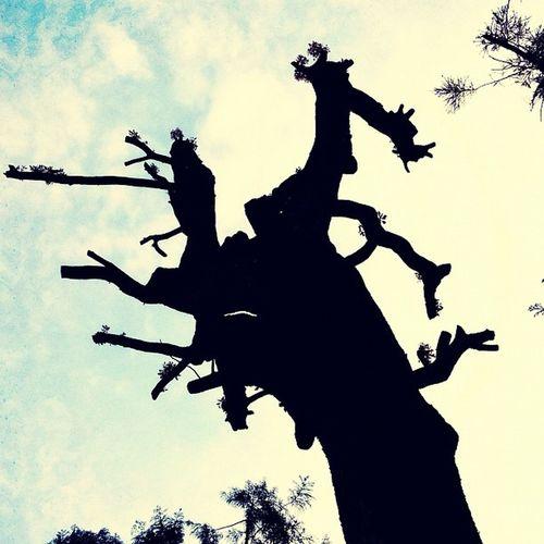 御神木の上が無いのは、木の為?人間の為?