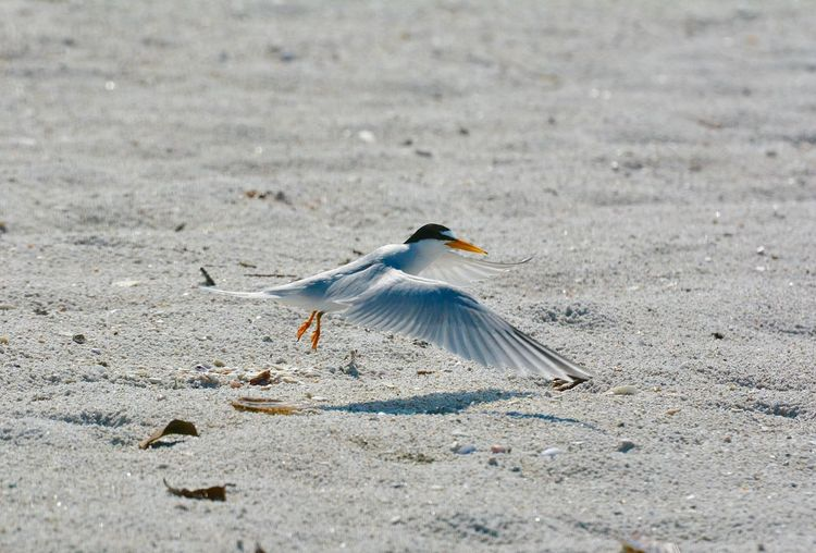 Least tern flying in to nesting area on beach