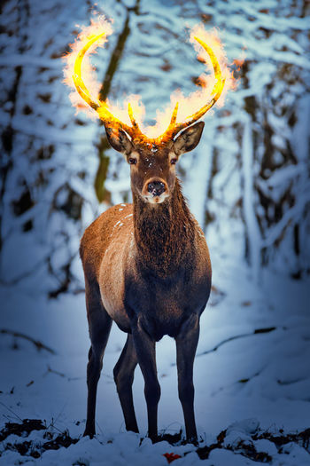 Portrait of deer standing on snow covered field fired antler