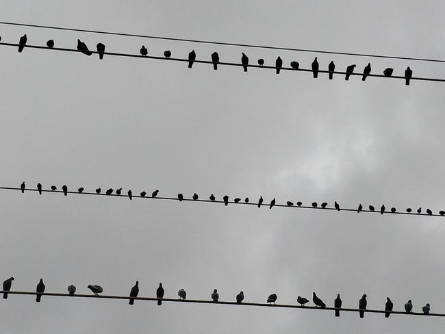Animal Animal Themes Animal Wildlife Animals In The Wild Bird Cable Connection Day Electricity  Flock Of Birds Group Of Animals Large Group Of Animals Low Angle View Nature No People Perching Power Line  Power Supply Silhouette Sky Telephone Line Vertebrate