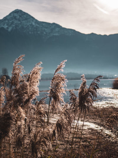 Reed in Winter Check This Out Eyemphotography EyeEm Nature Lover Italy Lombardia Lake Como No People Tranquility Scenics - Nature Beauty In Nature Tranquil Scene Sky Mountain Mountain Range Non-urban Scene Lake Winter Outdoors Day Cold Temperature Cloud - Sky Nature Environment Reed Monte Legnone