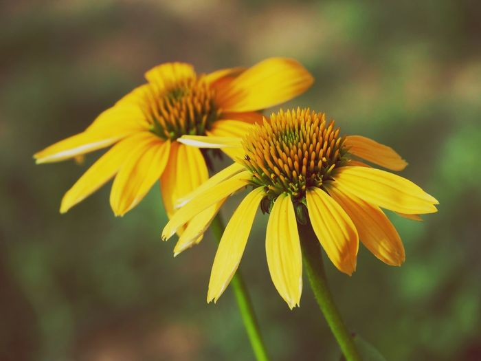 EyeEm Selects Flower Flowering Plant Fragility Vulnerability  Plant Beauty In Nature Freshness Flower Head Yellow Close-up Petal Focus On Foreground Pollen Coneflower Day Nature