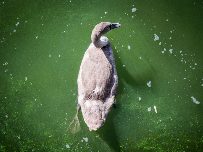 High Angle View Of Gray Swan Swimming In Lake