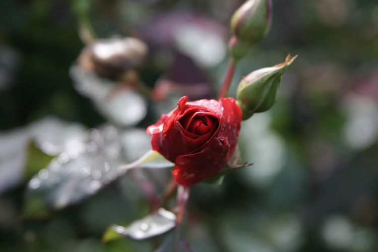 Portlandrosegarden Red Blooming Petals In Red Petalsandbuds Red Roses Rose Gardens Foggy Flower EyeEmNewHere