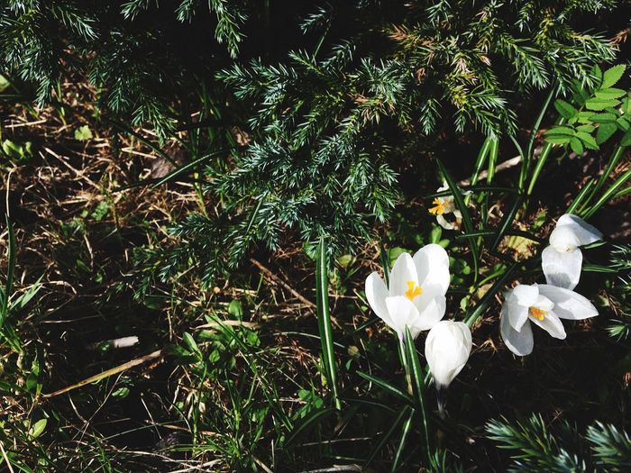 Crocuses Springtime Crocus Plant Growth Flowering Plant Flower Beauty In Nature Fragility Vulnerability  No People Petal Close-up Flower Head White Color