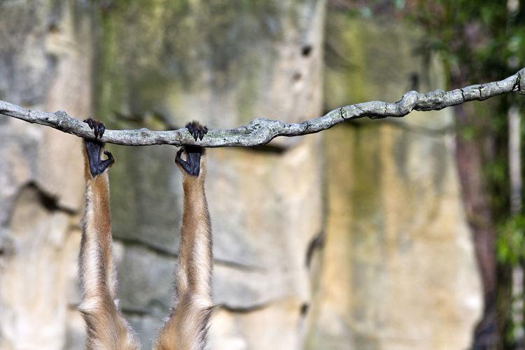 Abhängen Affe Animal Animals In The Wild Ape Arm Bisschen Abhängen Brave Climbing Cool Entspannen Focus On Foreground Hanging Around Hängen LianeV Monkey Mutig. No People One Animal Tiere Tiergarten Wildlife Wildlife & Nature Zoo Animals