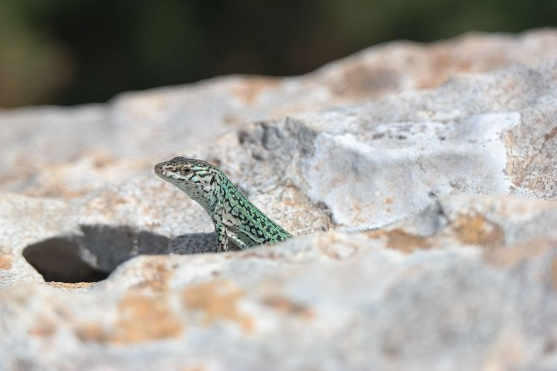 EyeEm Selects One Animal Animal Themes Animals In The Wild Animal Wildlife Animal Lizard