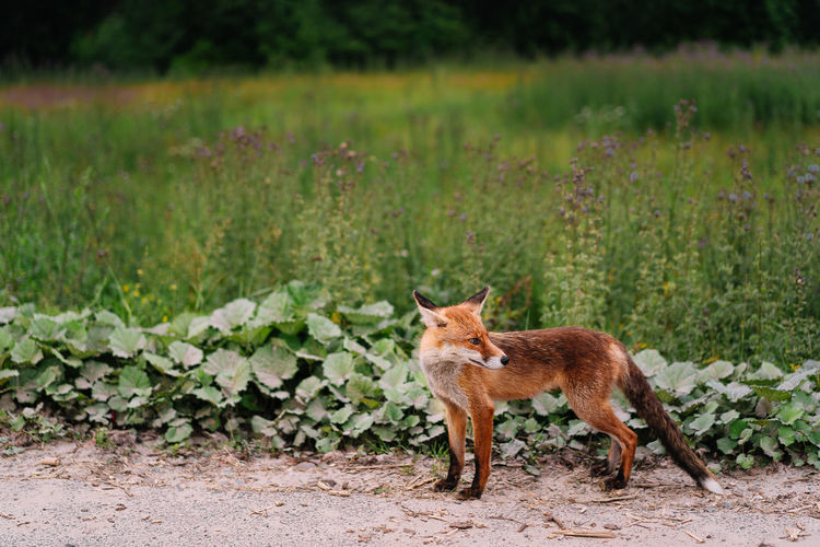 Fox standing by the side of the road in summer