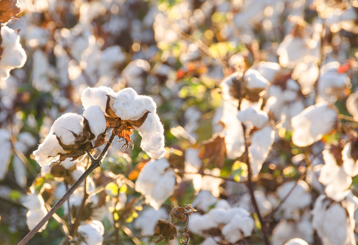 Aiken Beauty In Nature Close-up Cotton Cotton Farm Cotton Field Cotton Flower Countryside Crops Day Farm Flower Head Freshness Interior Design Nature Nature No People Outdoors Plant South Carolina Southern Charm Sunlight Sunset Wall Art