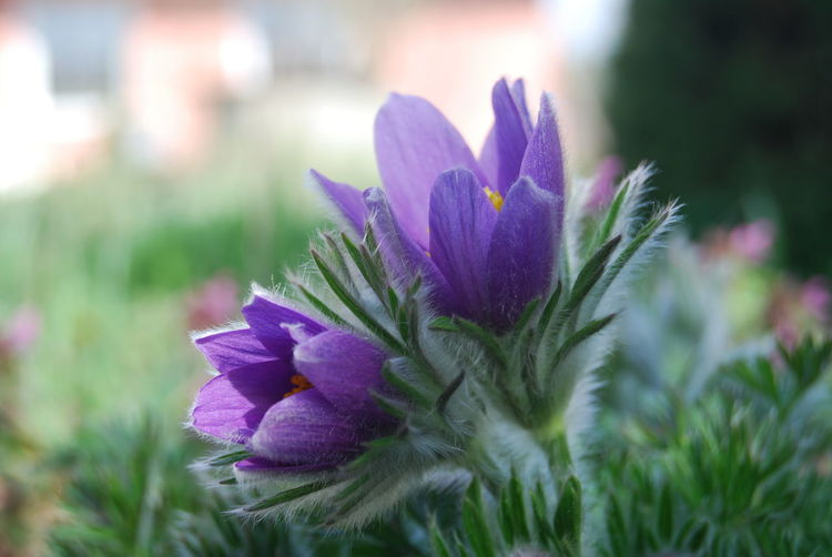 Beauty In Nature Blooming Botany Flower Flower Head In Bloom Nature Outdoors Plant Pulsatilla Vulgaris Purple Selective Focus