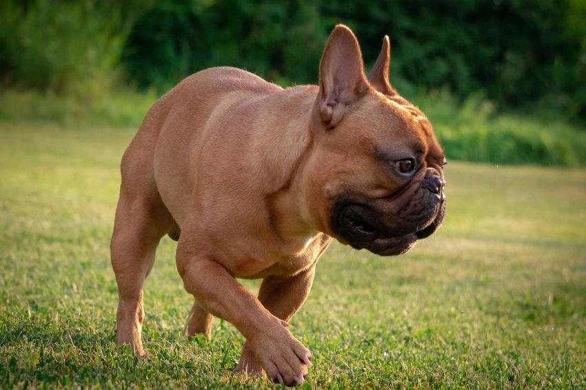 Französische Bulldogge  Hundefotografie Hundeportrait Tierfotografie Dogs Of EyeEm Butsosexy Dogs Dogs Life Twerk EyEmselect Düsseldorf #hundefoto Hunde EyeEm Selects Pets Portrait Grass Close-up