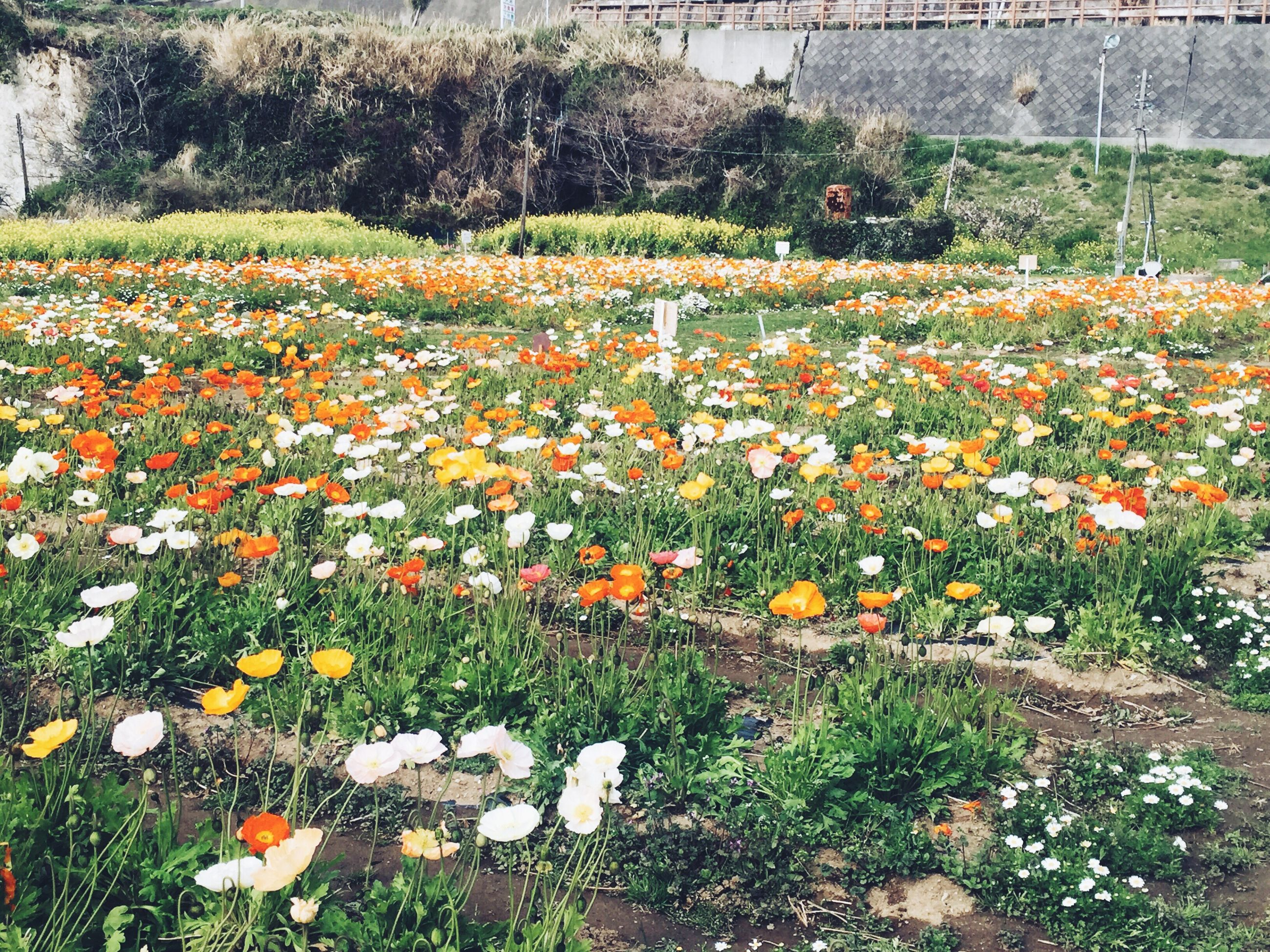 flower, growth, field, freshness, beauty in nature, fragility, nature, grass, plant, blooming, season, abundance, tranquility, flowerbed, in bloom, petal, landscape, tranquil scene, springtime, wildflower