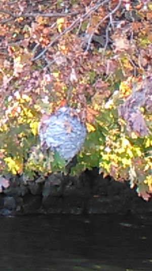 10/2016 : Hornets nest just 3-1/2 ft. from top of the water at Lake of the Ozarks/Linn Creek, Mo. Hornets, Nests, Lake Of The Ozarks, B