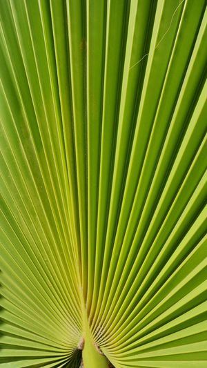 Leaf Green Color Plant Part Growth Full Frame Beauty In Nature Backgrounds Palm Leaf Plant Pattern Natural Pattern No People Nature Palm Tree Close-up Textured  Day Tree Outdoors Freshness