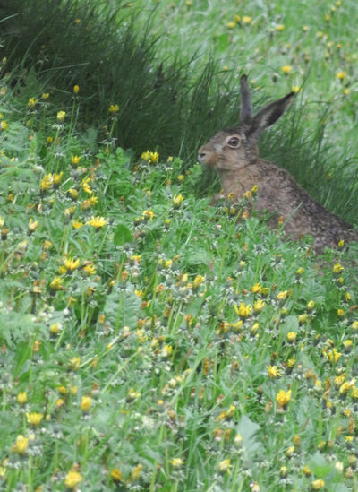 Hare Animal Themes Flower Field Grass Close-up Plant Green Color