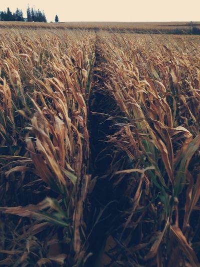 Corn Field Farm
