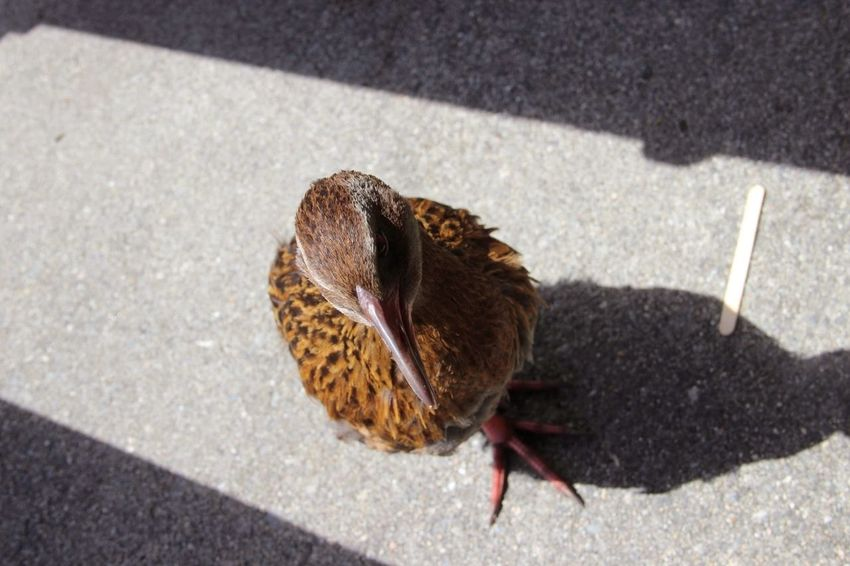 Animal Animal Themes Bird Brown Close-up Day Elevated View Focus On Foreground Ground Nature New Zealand No People Outdoors Weka Wildlife