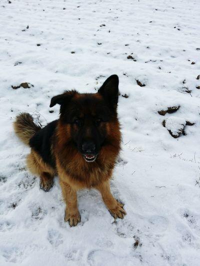 Friendsdog zima śnieg biało fantasy najlepszy przyjaciel człowieka Winter Snow Owczarek Niemiecki