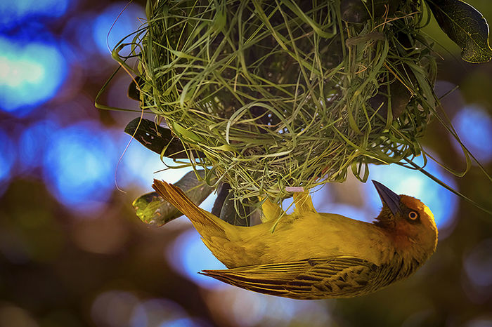 Animal Themes Close-up Day Finch Home Builders,New Home Builders,New Home Builders Melbourne Homebuilding Nature Nest Nest Building No People Outdoors Weaver Bird Weaving Yellow Yellow Finch
