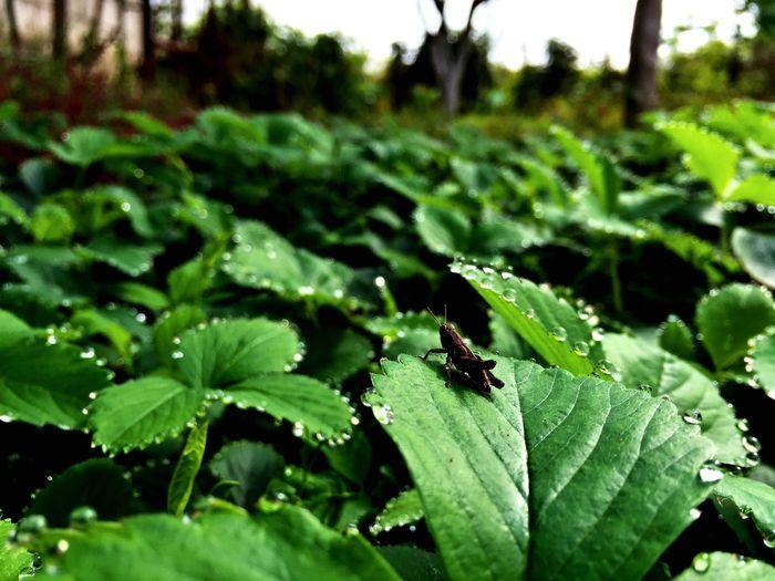 Enjoying Life IPhoneography Strawberries Strawberry Strawberry Fields STRAWBERRY LEAF Locust