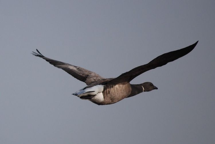 Low Angle View Of Bird Flying In Clear Sky