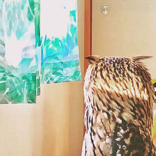 愛しい羽角 やさしい Rock Eagle Owl Owl ミミ 羽角 幸福 静寂 猛禽類 モデル 光 やわらかい フクロウ ベンガルワシミミズク Day Window Nature