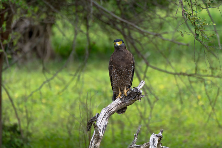 Close-up of crested serpent eagle perching on dead plant