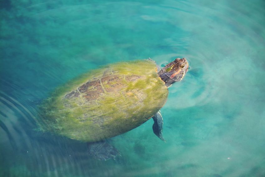 EyeEm Selects Water No People One Animal Animals In The Wild Day Animal Themes Nature Swimming Outdoors Underwater Sea Close-up Beauty In Nature Turtle Pond