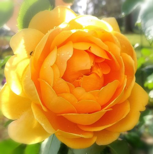 Rosé Rose - Flower Rose Collection Yellow Rose One Rose One Flower Insect On A Flower Insect Insect On Yellow Flower My Park🌲🏞🏡🌾👍 Flower Head Flower Petal Yellow Close-up Blooming