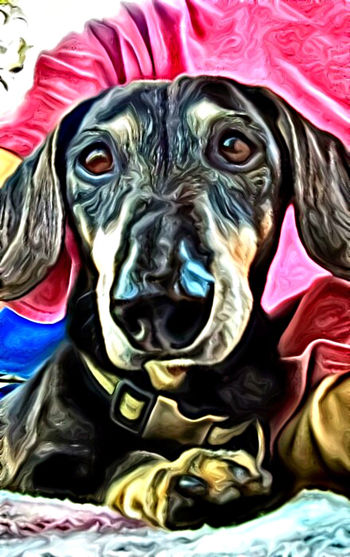 Animals Close-up Colorful Creativity Curiosity Dacshund Dogs Multi Colored Potrait Relaxation