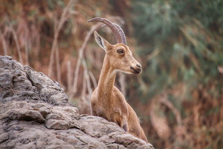 Climb Jump National Park Nature Nature Reserve Wild Animal Animal Themes Animal Wildlife Animal Wildlife Outdoors Day Animals In The Wild Beauty In Nature Day En Gedi Female Ibex Focus On Foreground Horn Ibex Israel Mammal Nature No People One Animal Outdoors Shy Wildlife